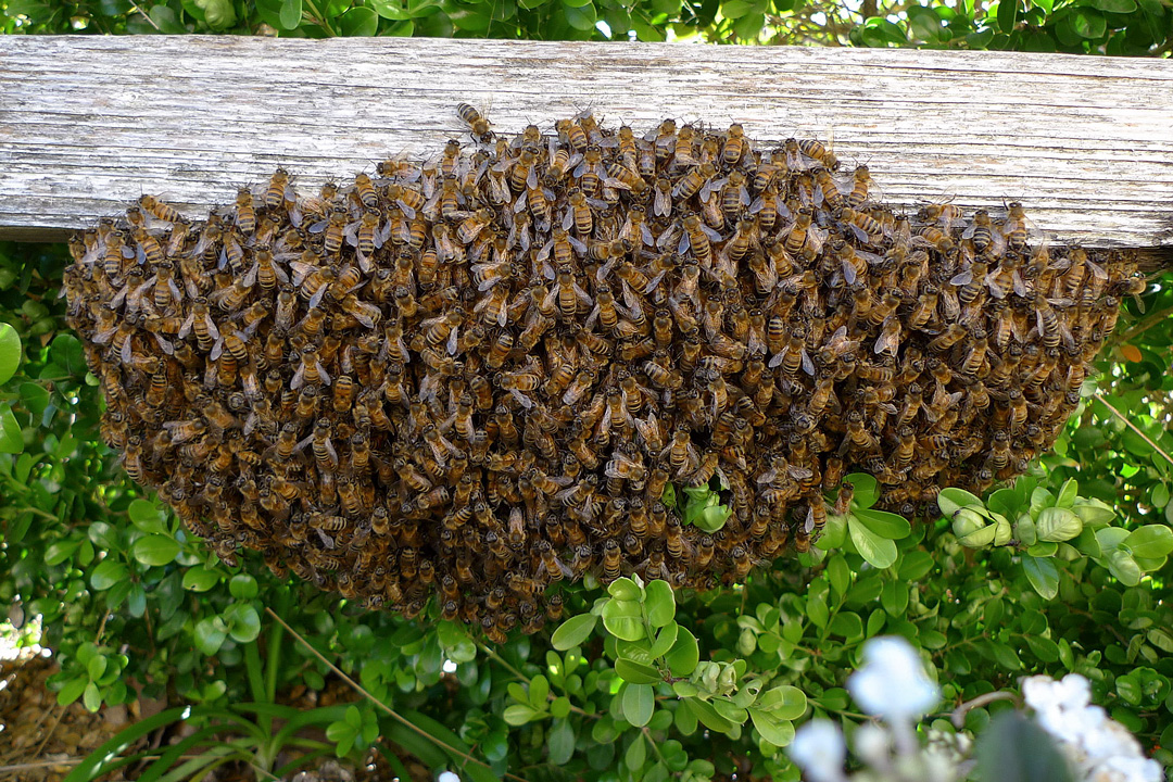 New to beekeeping and looking for bees?  Join the swarm list.
